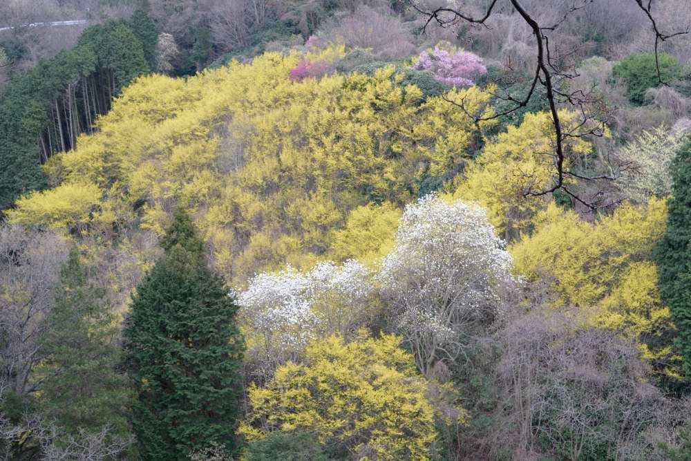 斜面サンシュユよ木蓮DSC_3905