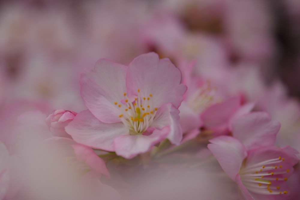 桜DSC_3918