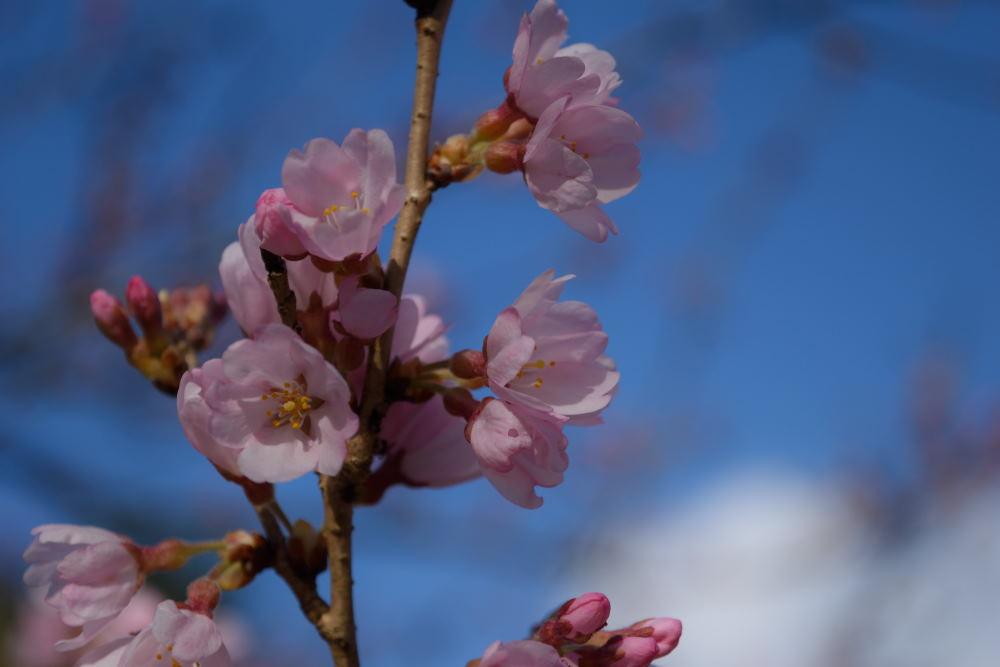 桜DSC_4156