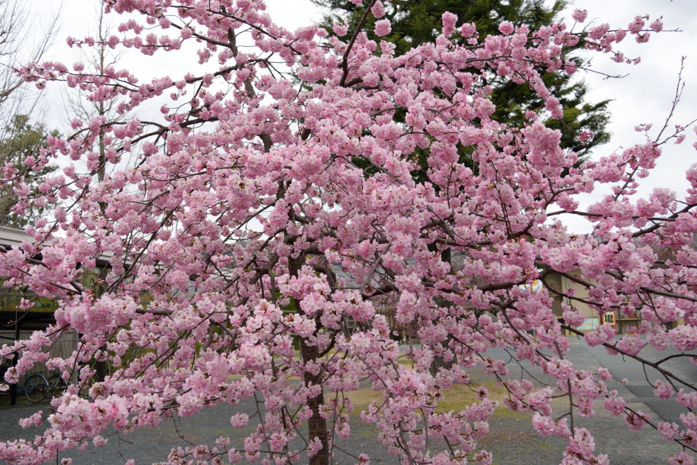 満開の桜DSC_3916