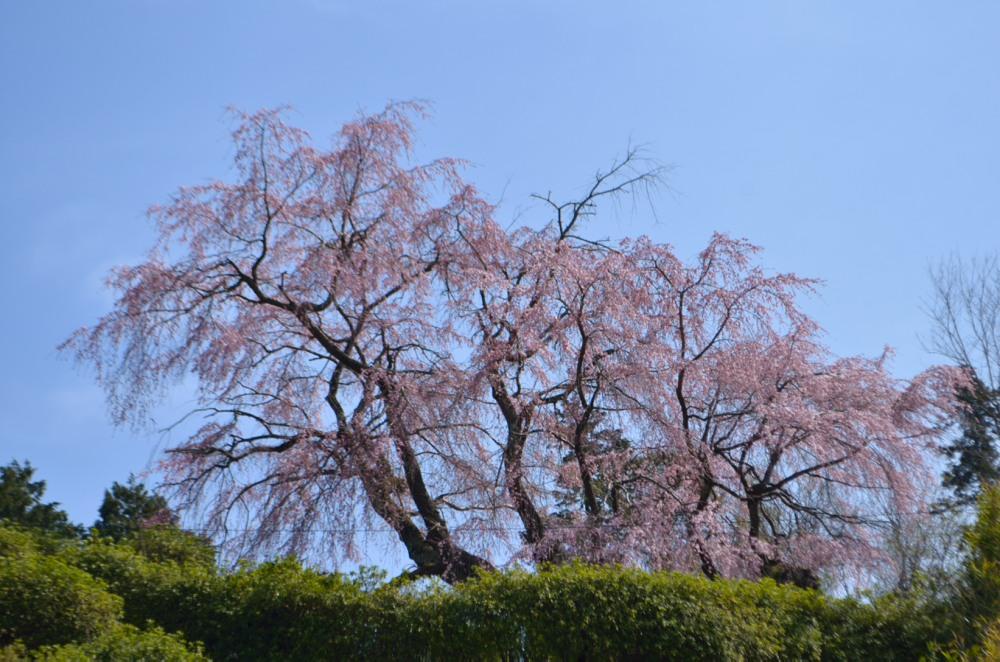 _弥三吉桜下から眺めてDSC_2582