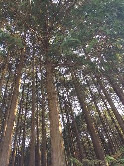 糸島の杉。