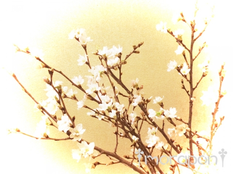 160106 啓翁桜-1
