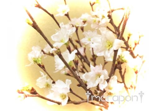 160106 啓翁桜-2