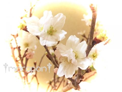 160106 啓翁桜-3