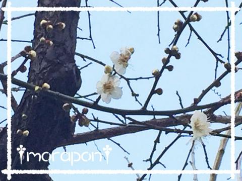 160205-1 梅は咲いたか-1