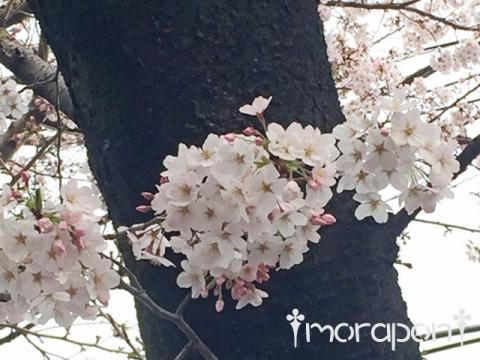 160331 お花見散歩-5