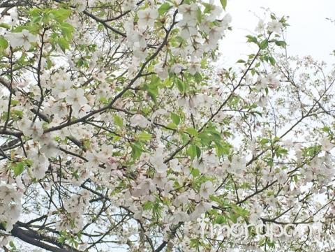 160331 お花見散歩-6