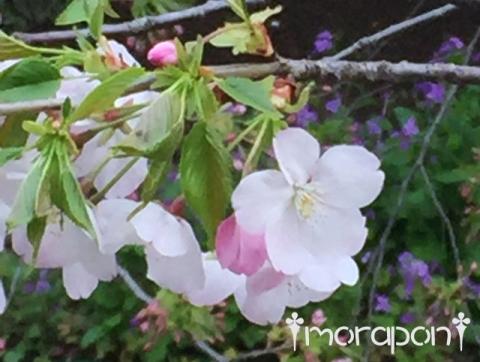 160331 お花見散歩-8