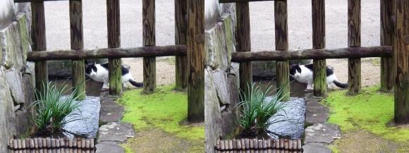 姫路城西屋敷公園 好古園 玄関~屋敷門への通路の猫(交差法)