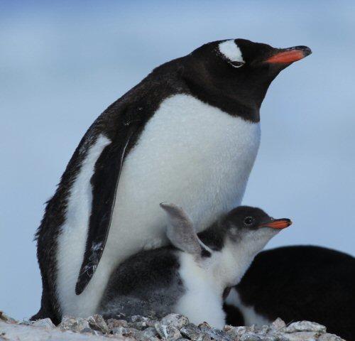 500 penguin parent kid