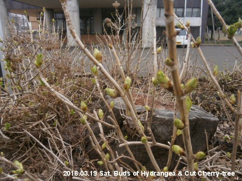02a 500 20160319 紫陽花と伐採桜蕾