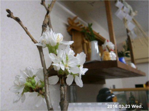 02c 500 20160323 桜beside神棚