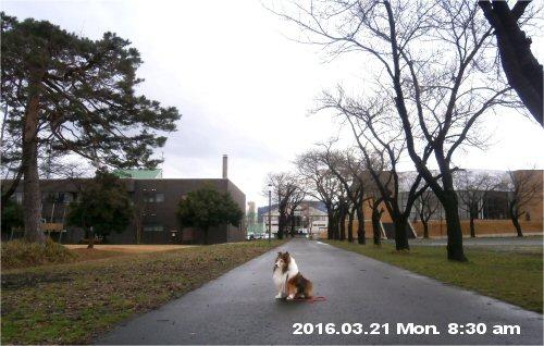02b 500 20160321 桜並木蕾 Erie