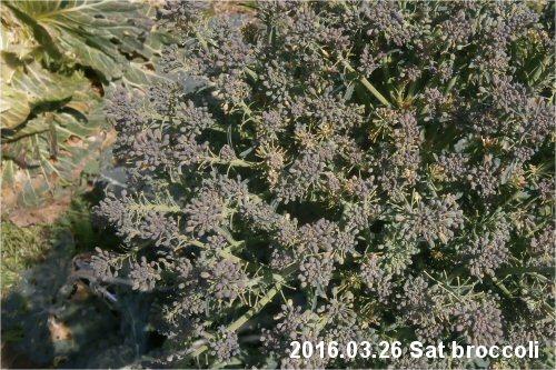 03c 500 20160326 broccoli