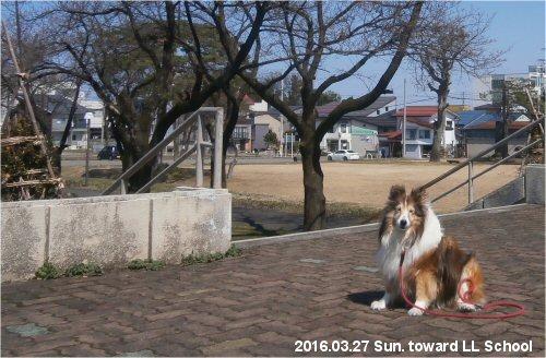 02b 500 20160328 桜並木 toward LL Erie 長谷川冨和氏