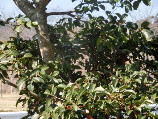 モチの木2