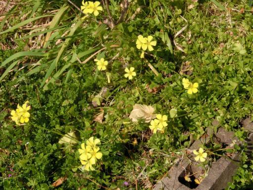 黄色いオキザリス1
