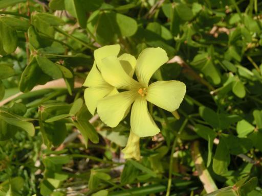 黄色いオキザリス2