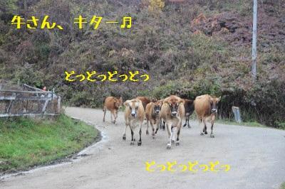 牛さんの行列きた。