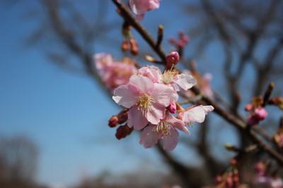 桜咲いてました。