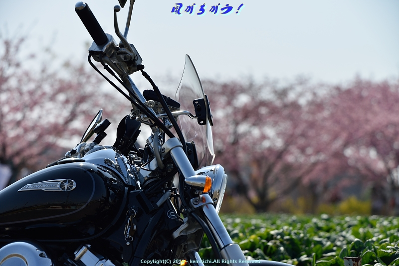 小出川河津桜 005