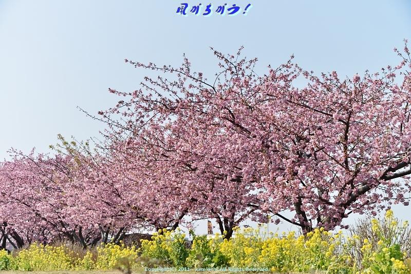 小出川河津桜 007