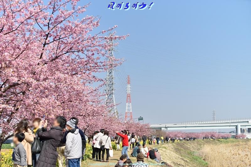 小出川河津桜 017