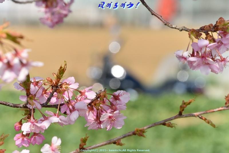 小出川河津桜 030
