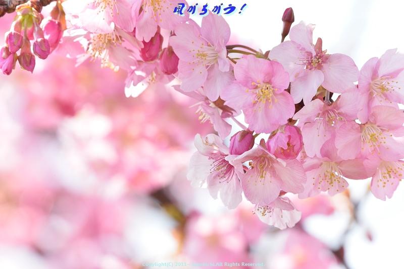 小出川河津桜 039
