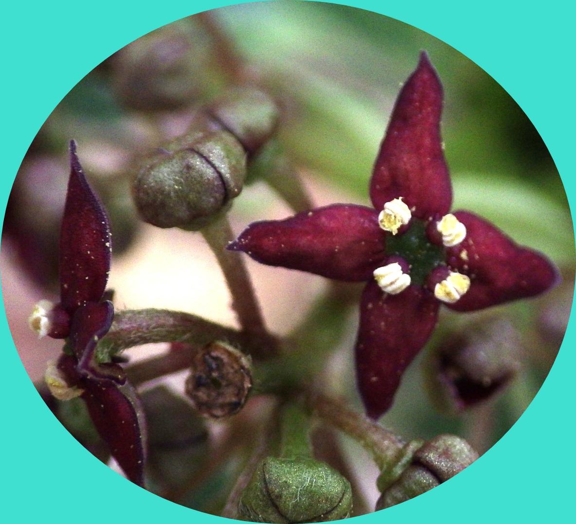 アオキの花 (2)