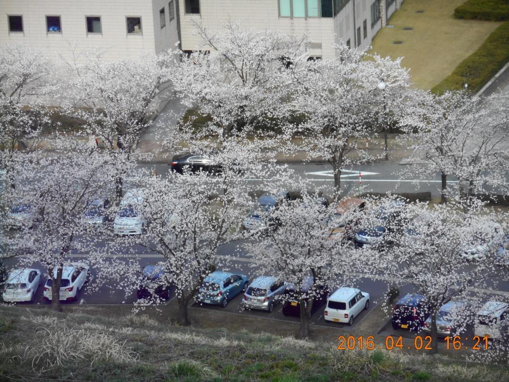 健森の桜1