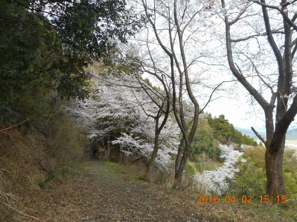乙坂山の桜