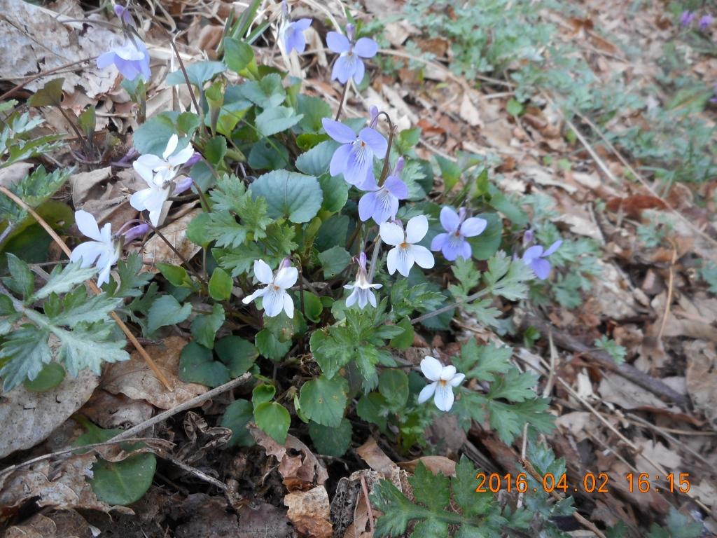 白と紫スミレ