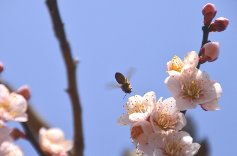 160228大山梅祭 (12)