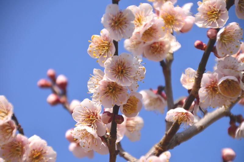 160228大山梅祭 (11)