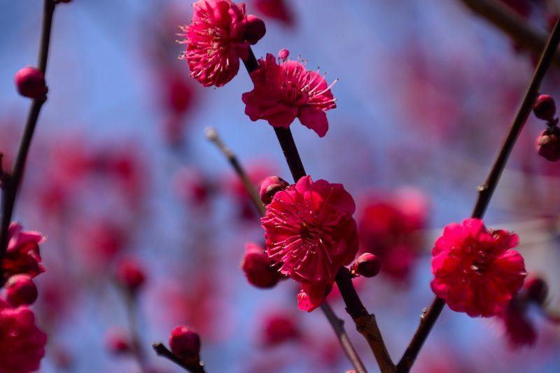 160228大山梅祭 (20)
