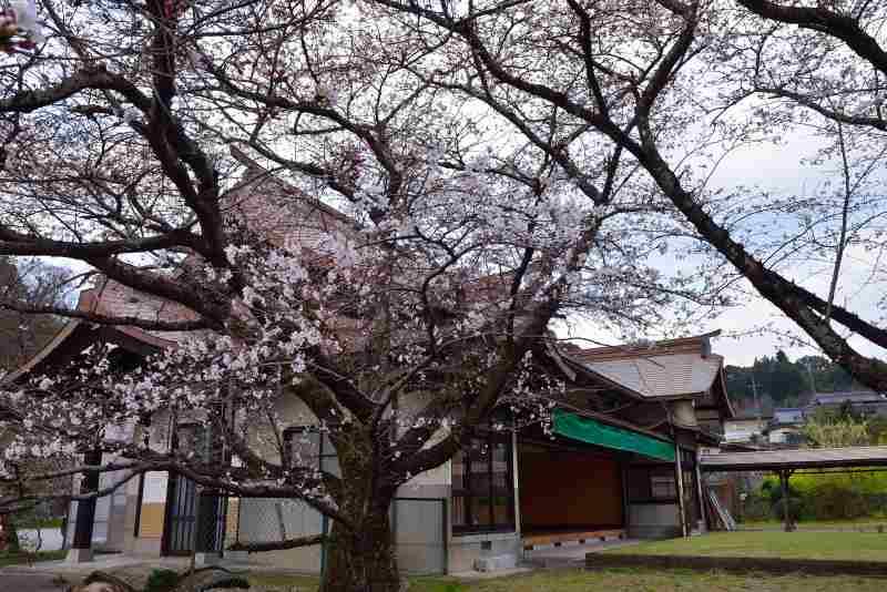 大原しだれ桜 (6)