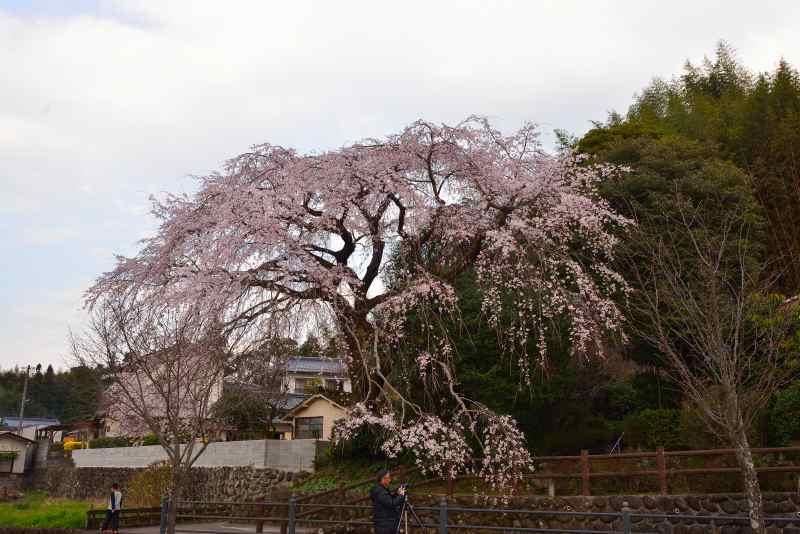 大原しだれ桜 (4)
