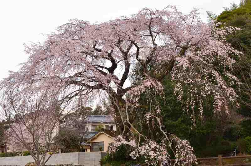 大原しだれ桜 (3)