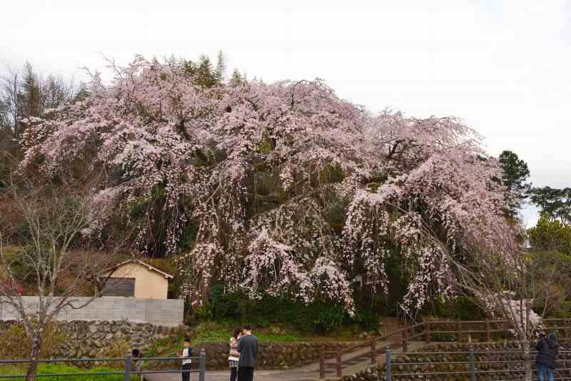 大原しだれ桜 (5)