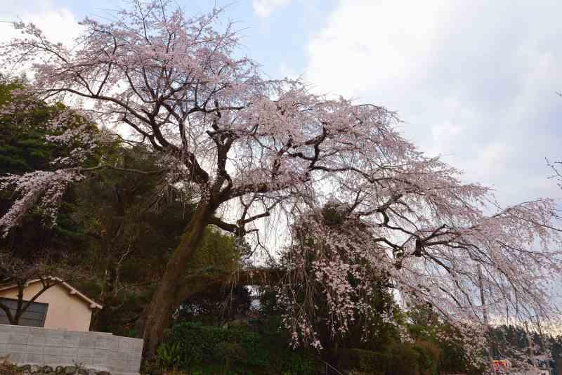 大原しだれ桜 (1)