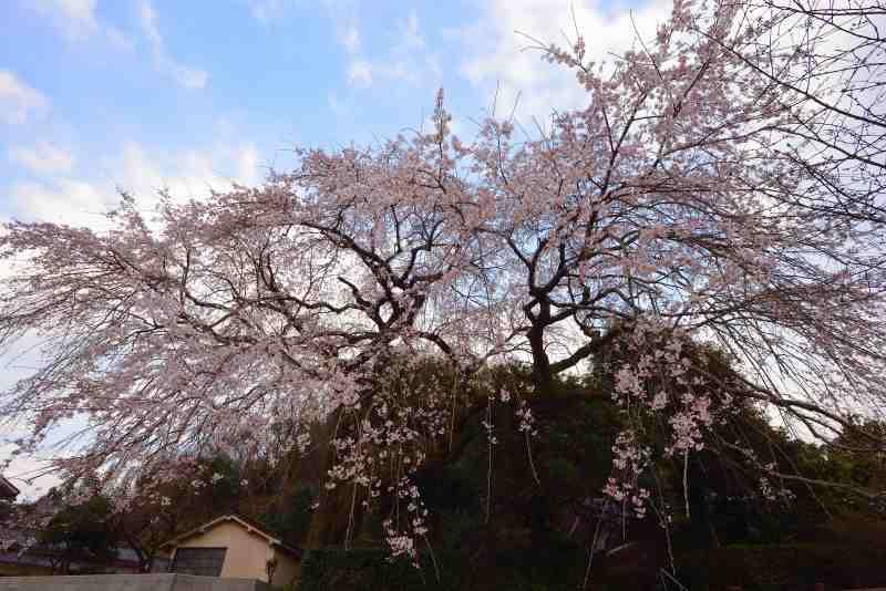 大原しだれ桜 (2)