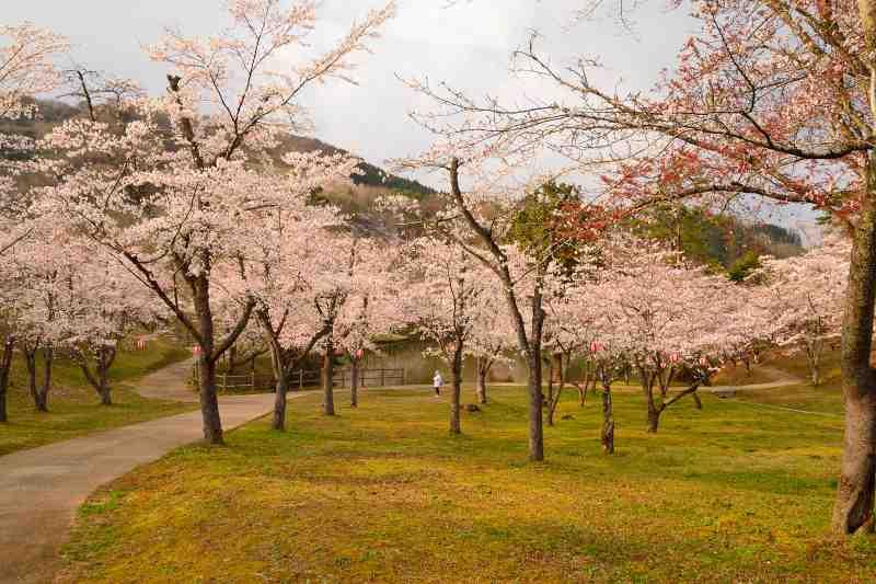 160330萩尾公園・桜 (10)