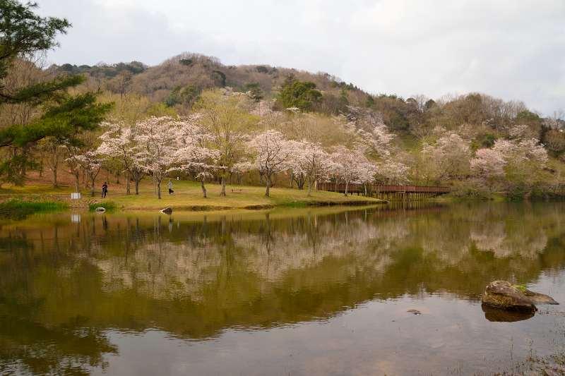 160330萩尾公園・桜 (8)