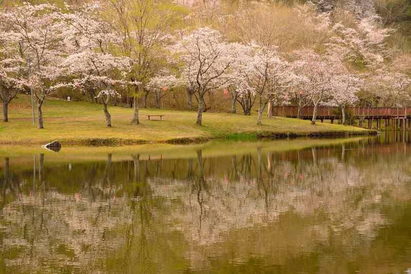 160330萩尾公園・桜 (9)