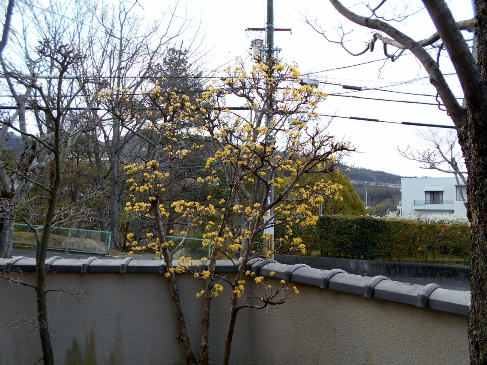 咲き終わりの「サンシュウ」