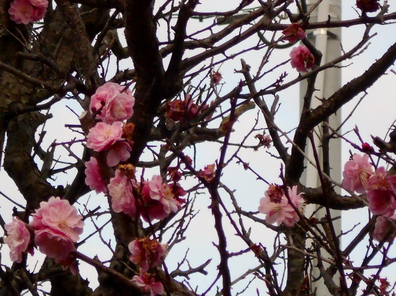 咲き終わりの「紅梅」