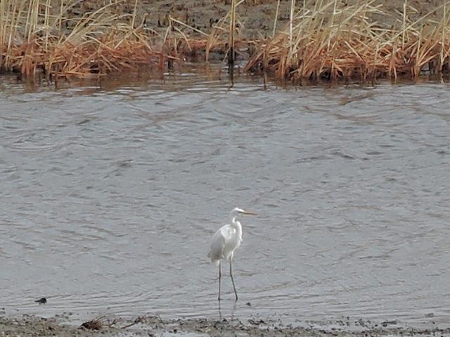 米代川河口 白鷺20160102