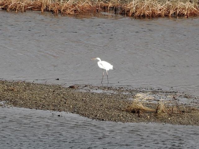 米代川河口 白鷺20160101